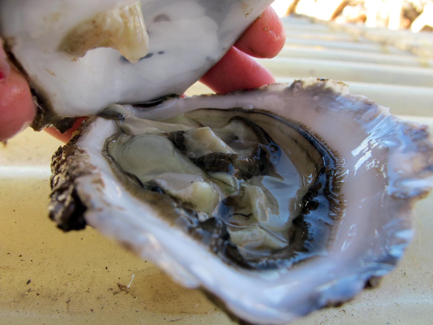 Las ostras Les Perles de València se cultivan en el Puerto de Valencia