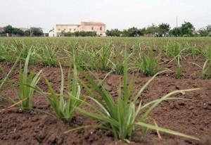 Un estudio científico avala las propiedades afrodisíacas de la Chufa de Valencia