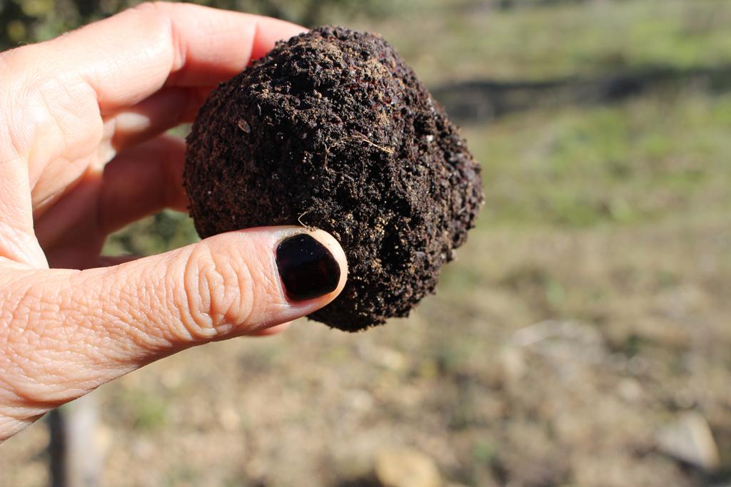 Cultivo de la trufa negra en el municipio de El Toro.